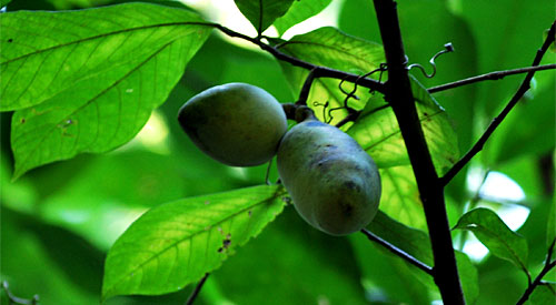 Paw paws, ripe for the picking along Buttermilk Trail